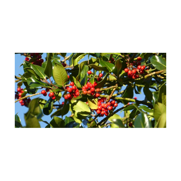 Holly Berries 2016